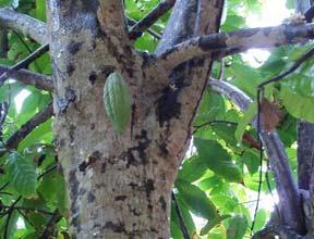 Cacoa tree